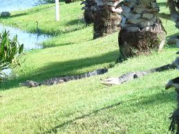 Alligators at the Black Hammock