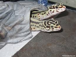 Do Leopard Geckos Shed by My Leopard Gecko Won U0027t Eat Feeding Problems Behavior Change
