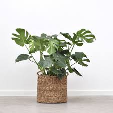 green monstera deliciosa 90cm