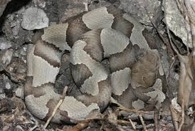 Shed Snake Skin Pictures by Insects In The City Save That Skin Snake Sheds Can Be Useful For Id