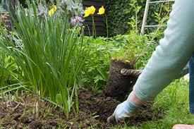 perennials planting rhs gardening