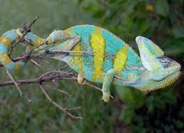 Basking Lamp For Chameleon by Veiled Chameleons For Sale Buy Veiled Chameleons