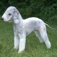Good Big Non Shedding Dogs by Hypoallergenic Dogs American Kennel Club