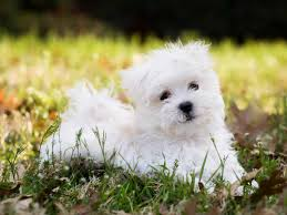 Best Non Shedding Small Dogs maltese dog puppies rescue pictures information