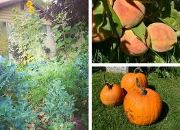 Natural Fertilizer For Pumpkins by Make Your Own Natural Liquid Fertilizers Seaweed And U0027gardener U0027s
