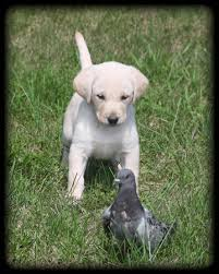 german shorthaired pointer shed what is better a labrador retriever or german hair pointer