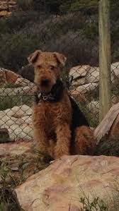 Airedale Terrier Non Shedding by 98 Best Airedale Terrier Images On Pinterest Airedale Terrier