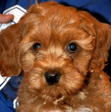 Non Shedding Hypoallergenic Dogs by Non Shedding Small Dogs Mixed Breeds Dog Pet Photos Gallery