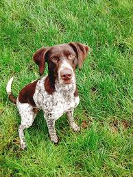 Griffon German Wirehaired Pointer Shedding by German Shorthaired Pointer Dog Breed Information Pictures