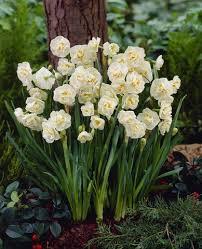 daffodil bridal crown amaryllis amaryllis