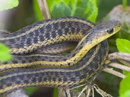 Garter Snakes Are Small Colubrid Found Throughout Most Of The United States