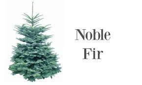 Nordmann Fir Christmas Trees Wholesale by Finnegan Christmas Trees Northern Ireland