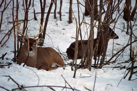 Back to the Basics Whitetail Beds and Bedding Areas by Dr Ken