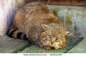 mountain cat mountain cat stock images royalty free images vectors