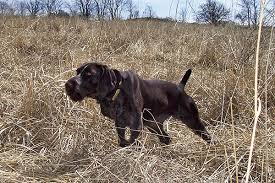 German Shorthaired Pointer Shed Hunter by Breed Profile German Wirehaired Pointer Gun Dog Magazine