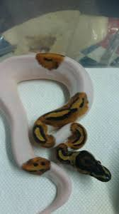Corn Snake Shedding Too Often by 12 Best Btb Dwarf Boas Images On Pinterest Dwarf Snakes And
