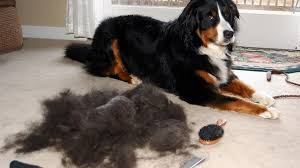 why do dogs shed in the fall rover com