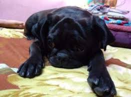 Do Pugs And Puggles Shed by Black Pug Dogs Genes Markings Black Vs Fawn