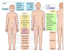 interieur corps humain femme anatomie humaine wikipédia