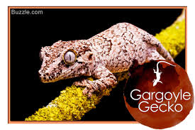 Do Aquatic Dwarf Frogs Shed Their Skin by A List Of 14 Types Of Geckos With Stunning Pictures