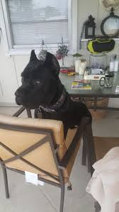 Cane Corso Italiano Shedding by 10 Best Black Cane Corsos Images On Pinterest Canes Black And