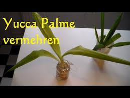 yucca palme vermehren yucca palme schneiden ableger steckling yucca palme