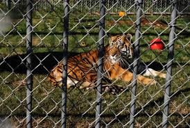 Tony The Louisiana Truck-stop Tiger Dies, Age 17 | Fox News Shocking Tiger Truck Stop Commercial Youtube New Photos Of 72011 Courtesy M Haik Free Stop Owner Plans To Pursue Another Tiger Stuff Tony For Stops Controversial Mascot Put Rest At The Yes There Really Is A The Stoplive Gas Station Louisiana Famous 2017 September 28 2015 2 Police Truck Carrying Skins From Buddhist Temple Keep Roaring For A Dodo Community Page Is Here Stay Vice