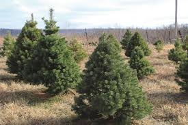 Nordmann Fir Christmas Tree by Christmas Tree Farms U003e Fort Riley Kansas U003e Article Display
