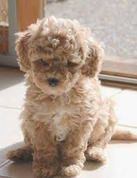What Dogs Dont Shed Or Bark by Best 25 Dog Breeds That Dont Shed Ideas On Pinterest Puppies