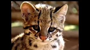 mountain cat andean mountain cat