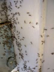 Flying Ants In Bathroom Window by How To Get Rid Of Ants Without Calling An Exterminator