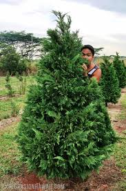 Leyland Cypress Christmas Tree Growers by Christmas Tree Hunting In Hawaii At Helemano Farms Exploration