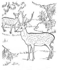 Chital Animal Identification Drawing Coloring Page Free Printable Pages Featuring Wild Animals