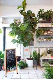 Best Plant For Dark Bathroom by Best 25 Large Leaf Plants Ideas On Pinterest Fiddle Leaf Fig