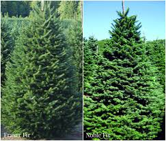 Types Christmas Trees Most Fragrant by How To Choose U0026 Maintain A Fresh Christmas Tree Install It Direct