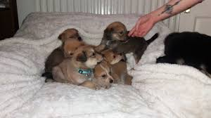Non Shedding Husky Cross by Mixed Breed Dogs And Puppies For Sale In Hull Pets4homes