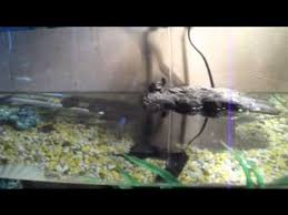 my common musk turtle basking youtube