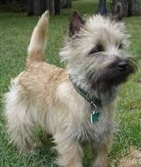 cairn terrier shed hair cairn terrier dogs cairn terriers terrier and