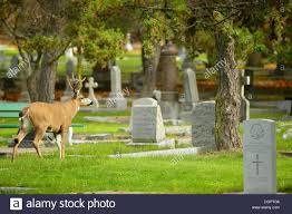 Blacktail Mule Deer Buck Strolling Through Ross Bay Cemetery In Autumn Victoria British Columbia Canada