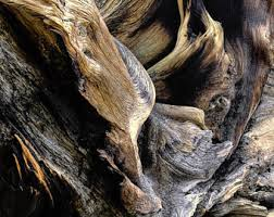 Bristlecone Pine Art Tree Roots Photo Log Cabin Forest