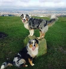 australian shepherds with tails doggies aussies