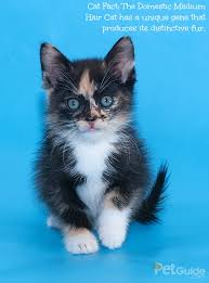 haired cats domestic medium hair