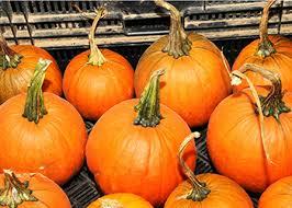 Connecticut Field Pumpkin For Pies growing pumpkins u0026 winter squash in south carolina heirloom for
