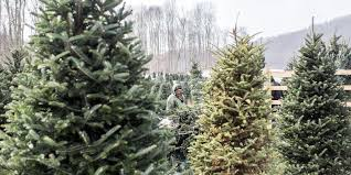 Fraser Fir Christmas Trees Nc by Is There A Christmas Tree Shortage In Western North Carolina