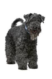 Blue Heeler Mix Shedding by Kerry Blue Terrier Dog Breed Information Pictures