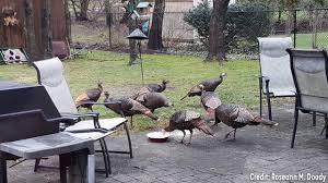 Surrounded By Turkeys, Mail Carrier Trapped In Truck Calls For Help ...