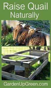 Best 25+ Raising Quail Ideas On Pinterest | Quail, Quails And ... Cheap Raising Ducks For Eggs Find Deals On The Chicken Chick 11 Tips For Predatorproofing Chickens 1064 Best Images Pinterest Chickens In The South Southern Living Keeping Ultimate Beginners Guide Australian Inrested Your Backyard Home Life How To Chickenproof Garden Modern Farmer Coop Yard Design 7 Coops 6760 Homestead Critters Landscape Gardening With 343 Other Farm Eggs