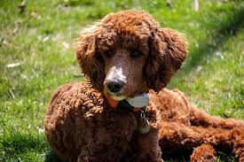 Hypoallergenic Dog Breeds That Dont Shed by Big Dogs That Don U0027t Shed Hypoallergenic Dogs List