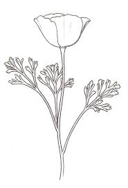 California Poppy Line Drawing