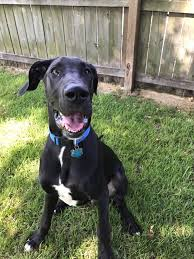 check out loki a great dane pup enjoying goose creek bed and